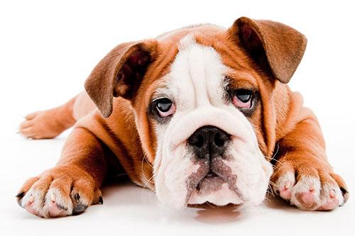 茶杯犬多少钱一只
