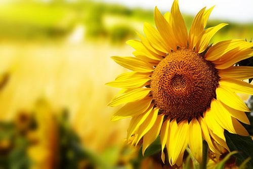 可食用的花卉植物 4类花好看又好吃