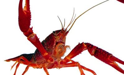 孕妇梦到龙虾夹住了手