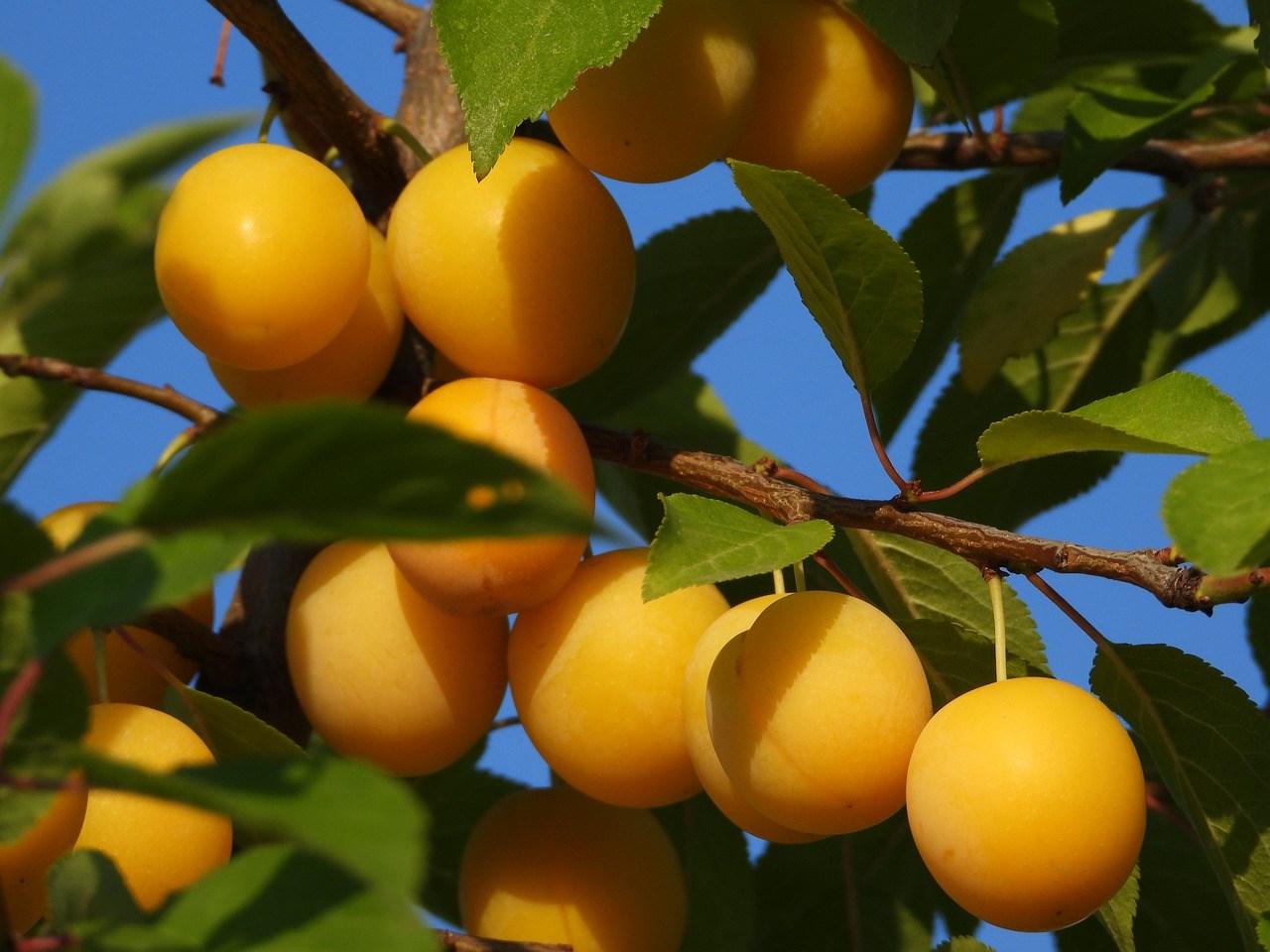 fruit-tree-4387738_1280.jpg